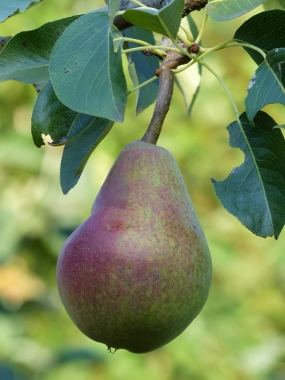 Pyrus 'Clapps Liebling'