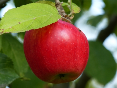Malus 'Doppelter Pison'